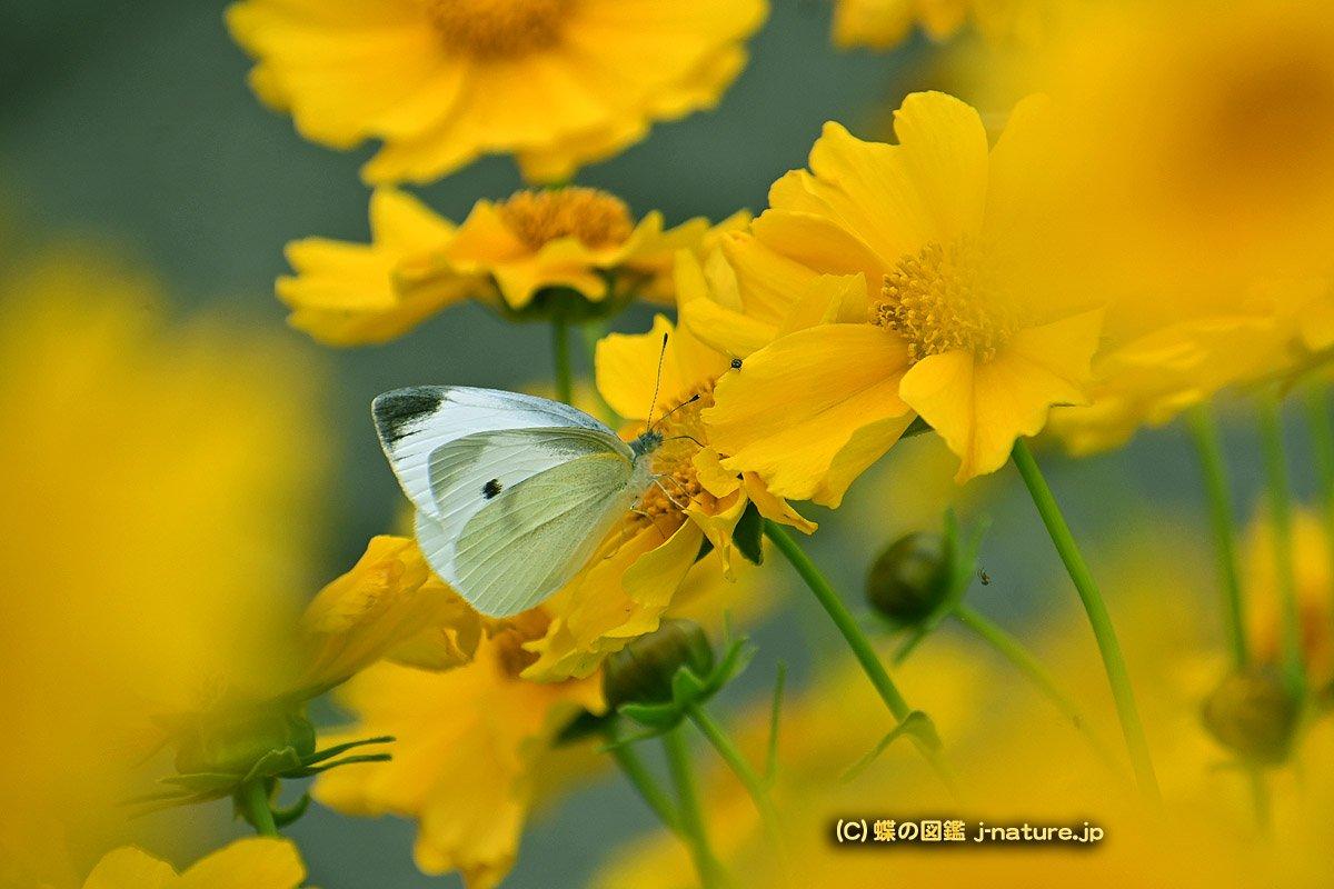 オオキンケイギクの花の蜜を吸うモンシロチョウ