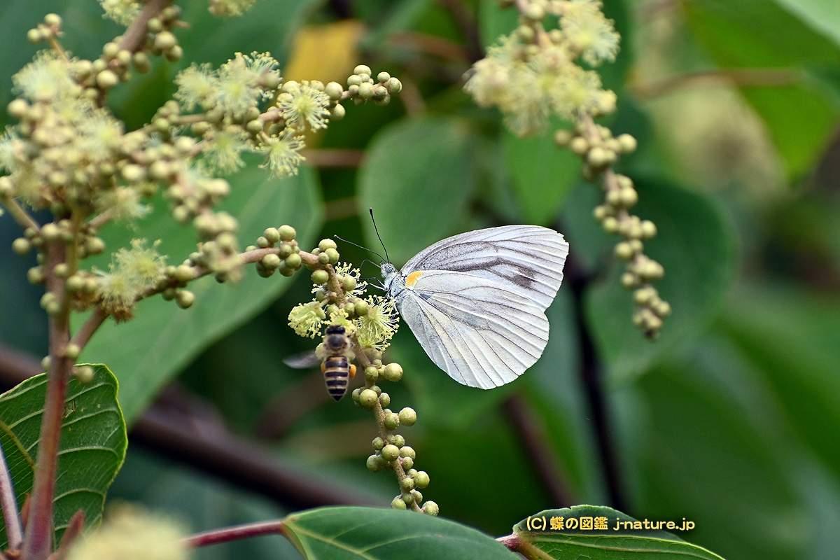 """アカメガシワの花の蜜を吸うスジグロシロチョウ"""""""